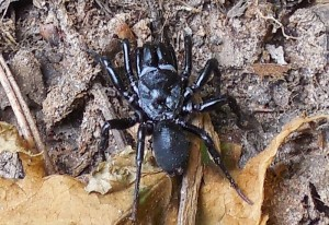 Black Purseweb Spider