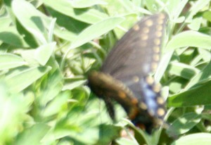 Female Black Swallowtail Ovipositing