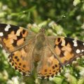 Painted Lady on Baccharis from our archives