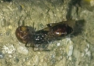 Carpenter Ant Alate eaten by Spider