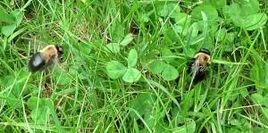 Courtship Behavior of Eastern Carpenter Bees