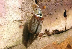 Cockchafer