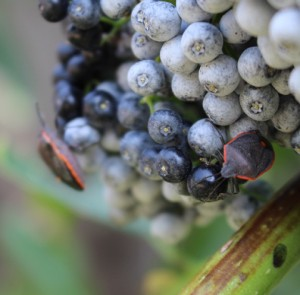 Conchuela Stink Bug
