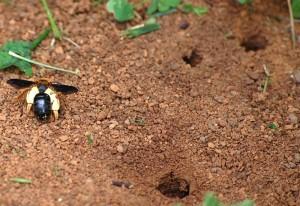 Dusky Winged Andrena