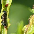 Groundselbush Beetle Larva
