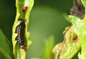 Groundselbush Beetle Larva