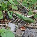 Preying Mantis eats Cricket