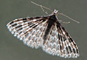 Many Plumed Moth