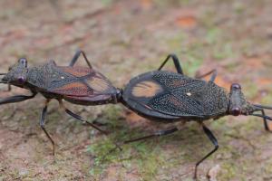 Mating Big Eyed Bugs, we believe