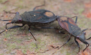 Or perhaps Mating Scentless Plant Bugs