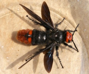 Mammoth Wasp:  Megascolia azurea
