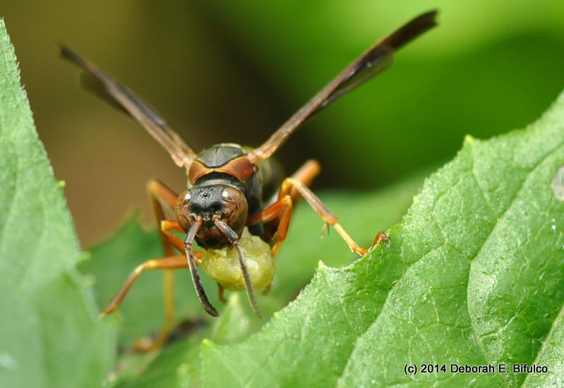 paper wasp Paper wasps will defend their nest aggressively, so in some cases, they may need to be removed learn when and how to remove paper wasp nests safely.