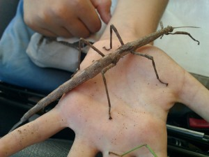 Female Mayer's Walkingstick