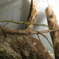 Mating Walkingsticks