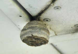 Beginnings of a BaldFaced Hornet Nest