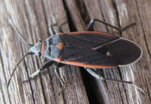 Seed Bug:  Melacoryphus lateralis