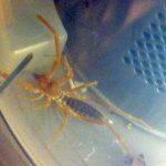 Wind Scorpion