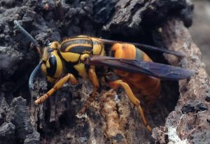 Southern Yellowjacket Queen