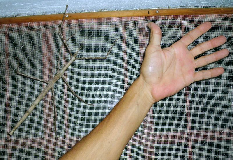 Giant Stick Insect From South Africa What S That Bug