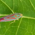 Candystriped Leafhopper