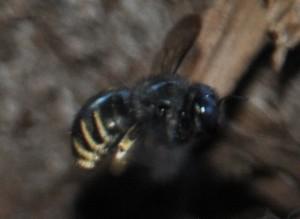 Horsefly-like Carpenter Bee