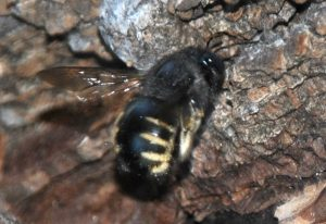 Horsefly-like Carpenter Bee