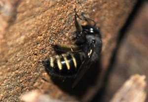 Horse Fly-like Carpenter Bee