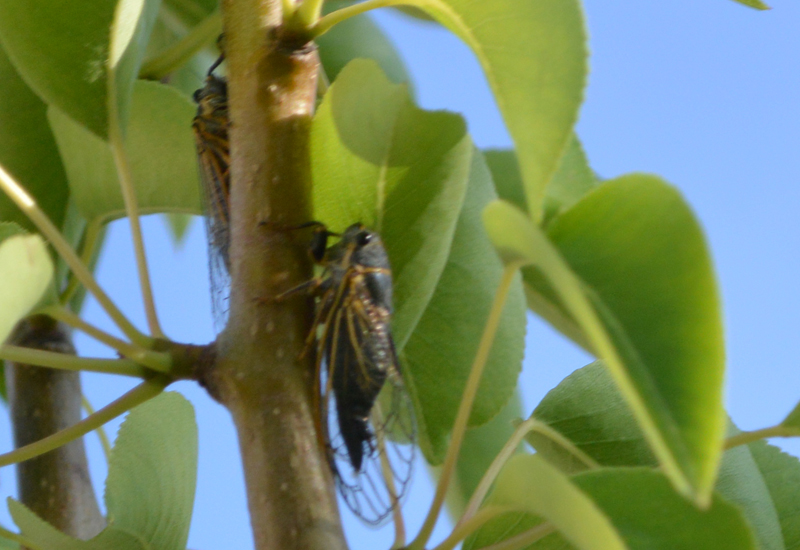 Cicadas From Utah What S That Bug