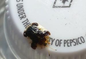 Clavate Tortoise Beetle