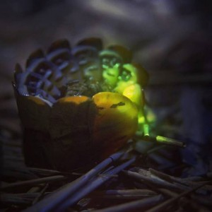 Firefly Larva or Larviform Female Firefly