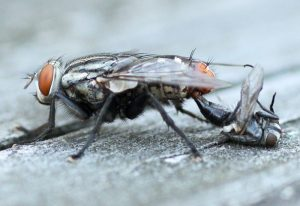 Flesh Fly matings ends with death of the male!!!