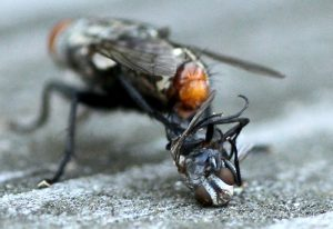 Flesh Fly mating ends with death of a partner!!!