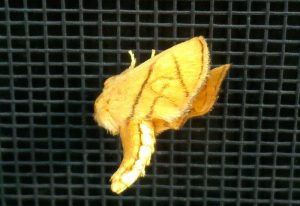 Possibly Geometrid Moth
