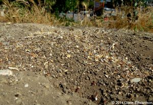 California Harvester Ant habitat on Red Car Property
