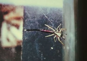 Jumping Spider we presume