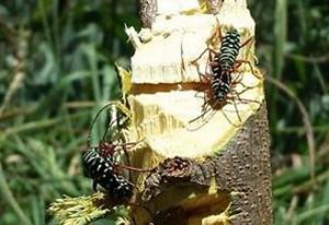 Kiawe Roundheaded Borers Mating close-up