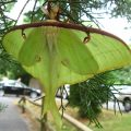 Luna Moth from our archives