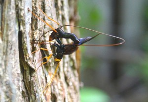 Megarhyssa atrata ovipositing