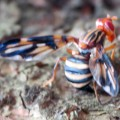 Picture Winged Fly:  Idana marginata