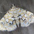 Pondside Pyralid Moth
