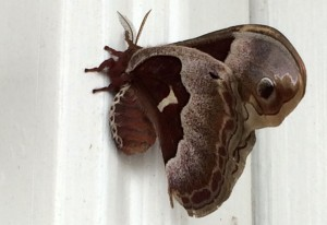 Gravid Female Promethea Moth