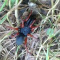 Red Legged Purseweb Spider