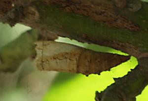 Shell of a Swallowtail Chrysalis
