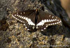 Female Old World Swallowtail