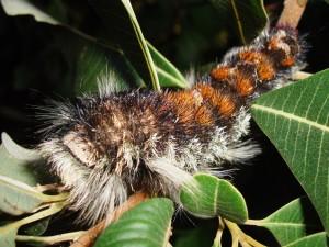 Toothed Cream Spot Eggar Caterpillar