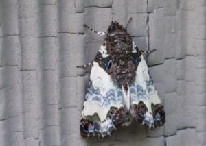 Tufted Bird Dropping Moth