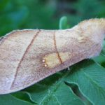 White Spotted Prominent Moth