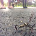 Big Legged Bug:  Acanthocephala declivis