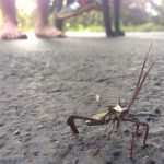 Big Legged Bug:  Acanthocephala declivis