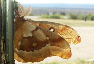 Male Western Polyphemus Moth